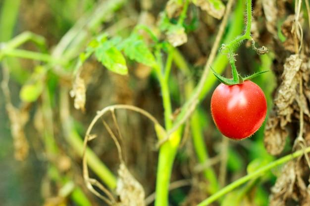 Verse rode tomaat op boom, indisch landbouwgebied