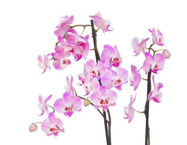 Verse roze orchideetak die op witte achtergrond wordt geïsoleerd