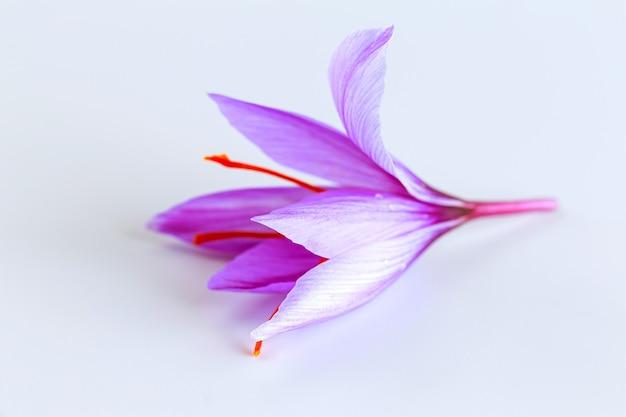 Verse saffraanbloem met rode draden op een witte achtergrond