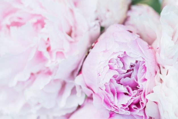 Verse stelletje roze en witte pioenrozen