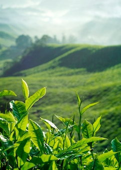 Verse theebladen op een aanplanting in maleisië