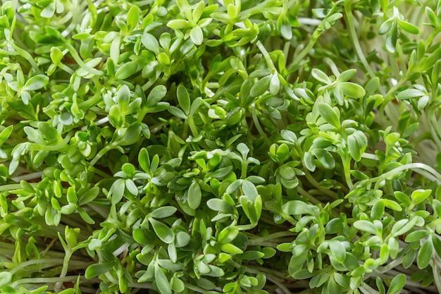 Verse tuinkerssalade die dicht omhoog wordt geïsoleerd