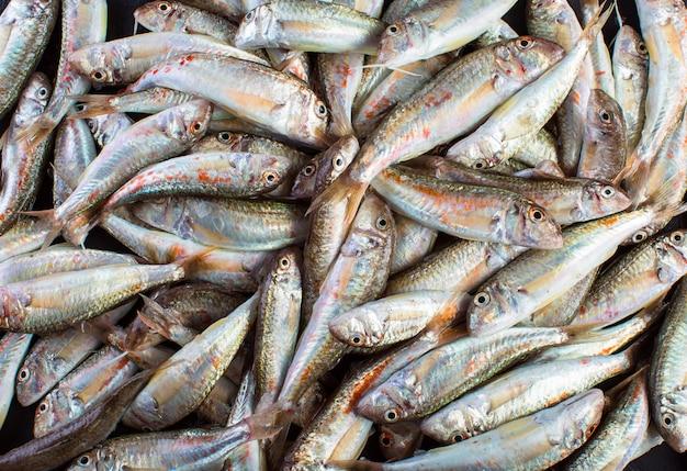 Verse vangst van rode mul. zwarte zee sultanka vis.