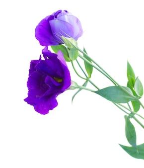 Verse violette eustomabloemen die op wit worden geïsoleerd