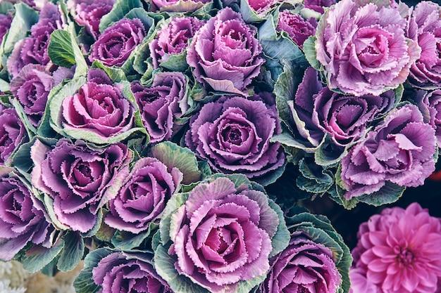 Verse violette kool plant bladeren. bloem bloei textuur. natuurlijke achtergrond.