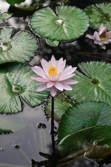 Verse witte lotus met gele stamper op natuurlijk zwembad met groene bladeren