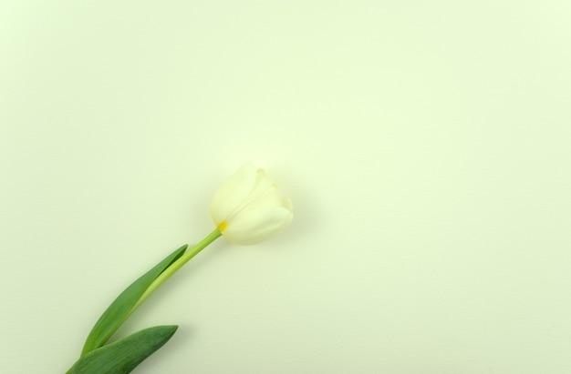 Verse witte tulp bloem plat lag op lichtgrijs witte abstracte textuur papier achtergrond