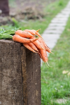 Verse wortelen geplukt uit de tuin. groenten oogst