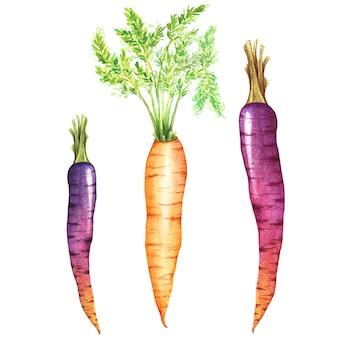 Verse wortelen met bladeren aquarel illustratie. realistische hand getrokken groenten set geïsoleerd