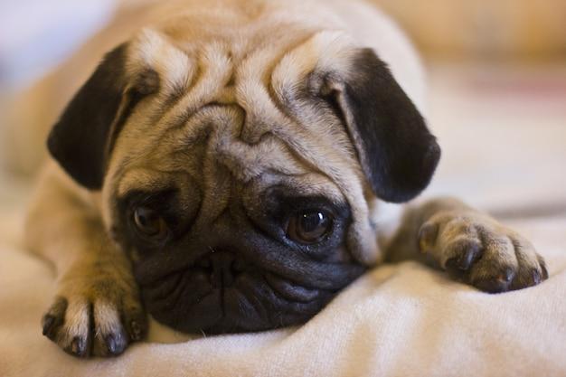 Verstoorde puppypug die op het bed legt