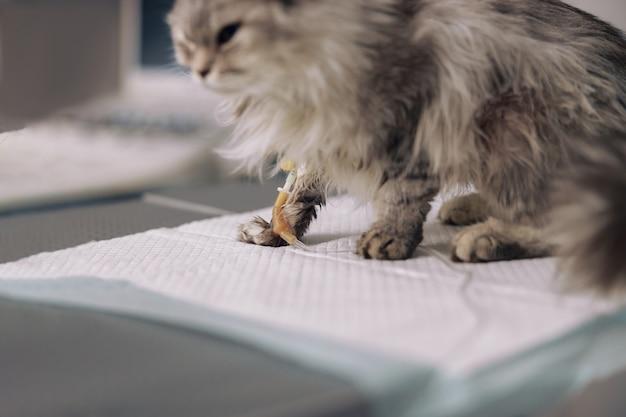 Verstoorde zieke pluizige grijze kat op intraveneuze infusie zit op tafel in de dierenkliniek