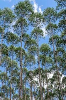 Verticaal beeld van eucalyptusplantage