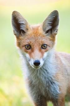 Verticaal close-upportret van rode vos met vage groene achtergrond.