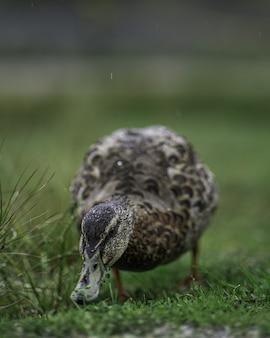 Verticaal close-upschot van een leuke eend op het groene gras