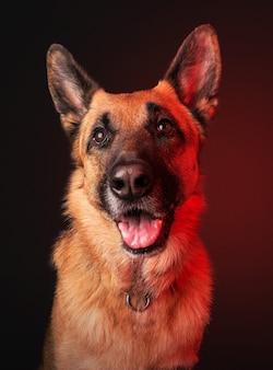 Verticaal portret van een binnenlandse schattige duitse herder type hond