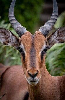 Verticaal portret van een mooie antilope