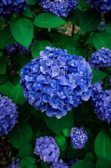Verticaal schot van blauwe hortensiabloemen in een tuin