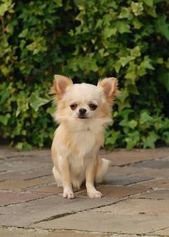 Verticaal schot van crèmekleurige schattige chihuahua-hond die op de stoep staat