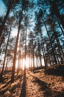 Verticaal schot van de zon die door de bomen in een bos schijnt dat in oostkapelle, nederland wordt genomen