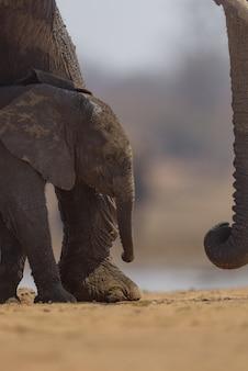 Verticaal schot van een babyolifant die dichtbij zijn moeder loopt