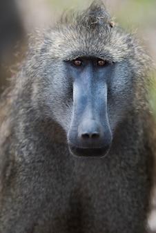 Verticaal schot van een baviaanaap in een gebied