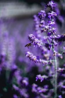 Verticaal schot van een bij die op een lavendelbloem neerstrijkt