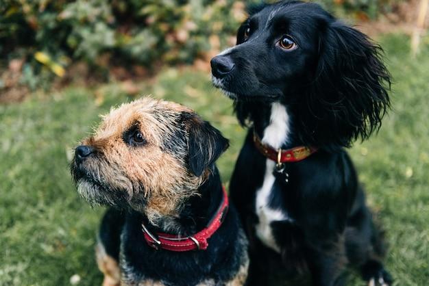 Verticaal schot van een border terrier en een spaniel zittend op droog gras