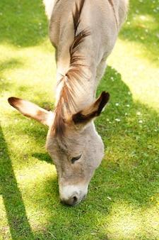 Verticaal schot van een burro die in een tuin weidt