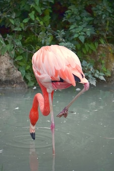 Verticaal schot van een flamingo die voedsel op het water zoekt