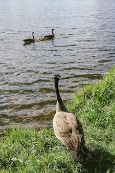 Verticaal schot van een gans die twee andere ganzen bekijkt die in het water zwemmen