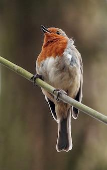Verticaal schot van een gelukkig roodborstje dat op een smalle tak in een bos staat