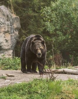 Verticaal schot van een grizzly die op een weg met een vaag bos op de achtergrond loopt