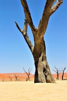 Verticaal schot van een grote bladloze boom in een woestijn met zandduinen en duidelijke hemel