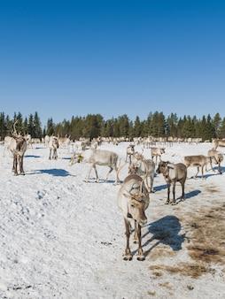 Verticaal schot van een kudde herten die in de sneeuwvallei dichtbij het bos in de winter lopen