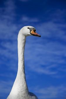 Verticaal schot van een leuke zwaan met een vage blauwe hemel