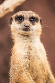 Verticaal schot van een lichtbruine meerkat overdag