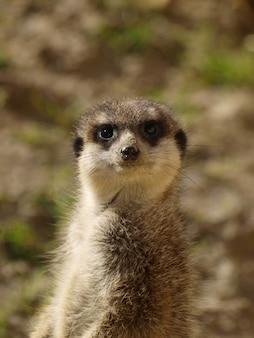 Verticaal schot van een meerkat die zich in aard bevindt