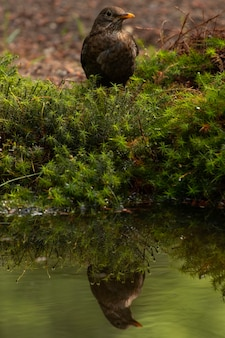 Verticaal schot van een merel die over het meer nadenkt