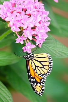 Verticaal schot van een monarchvlinder die op roze santanbloemen voedt