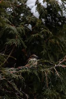 Verticaal schot van een muszitting op een sneeuw behandelde tak van een boom