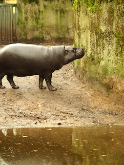 Verticaal schot van een nijlpaard die zich naast het water bevindt