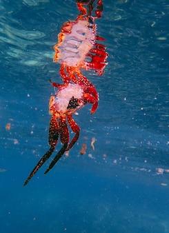 Verticaal schot van een rode krab in het water