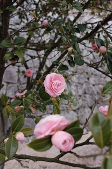 Verticaal schot van een tuin van roze rozen met een onscherpe achtergrond