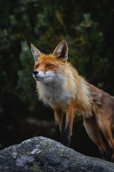 Verticaal schot van een vos die over rotsen in een bos loopt