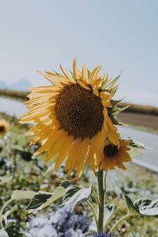 Verticaal schot van een zonnebloem die aan de kant van de weg op een heldere zonnige dag groeit