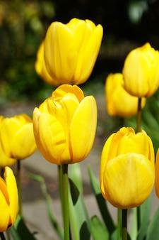 Verticaal schot van gele tulpen naast elkaar