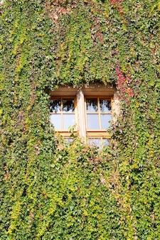 Verticaal schot van groene wijnstokplanten die de muur en het glasvenster behandelen