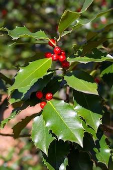 Verticaal schot van het kweken van gemeenschappelijke hollies op de tak in het natuurpark