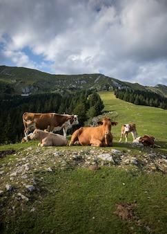 Verticaal schot van koeien die rondlopen onder een bewolkte hemel