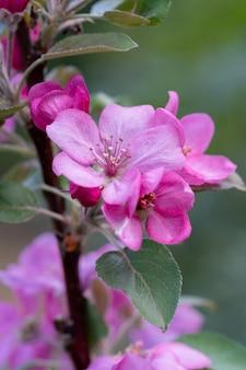 Verticaal schot van mooie appelboom bloeit met roze bloemen in het park